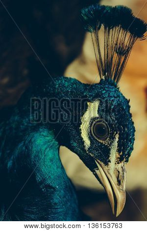 colorful peacock bird with feathers and crest on head with bearded man on blurred background