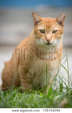 Fierce looking ginger cat, ready for a fight