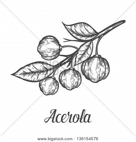 Acerola Fruit, Barbados Cherry. Superfood Organic American Berry. Hand Drawn Vector Sketch Engraved