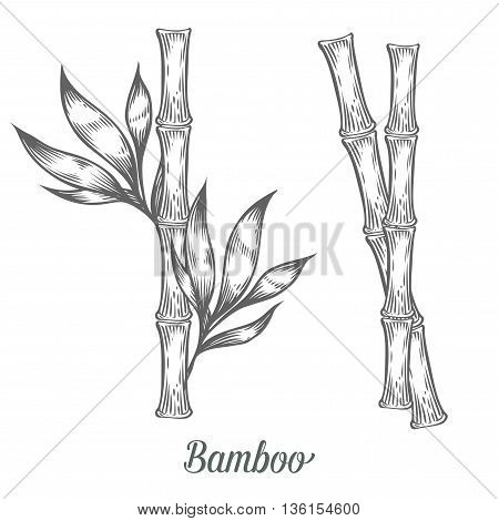 Bamboo Stem Branches And Leaf Vector Hand Drawn Illustration. Black Bamboo On White Background. Engr