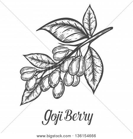 Goji Berry, Fruit, Leaf, Plant Branch. Superfood Organic Asian Berry. Hand Drawn Vector Sketch Engra