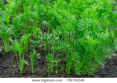 Gardening Topic: Bed With Young Green Bush Carrot