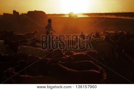 Little Boy Herding Goats at Dusk Culture Concept