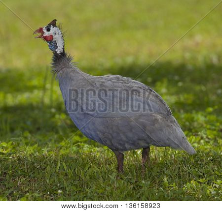 Guinea that is standing in the shade on a grassy field