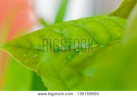 Avocado leafs covered by drops of water after the rain