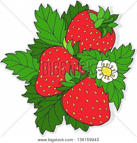 Three ripe strawberry and flower on a background of green leaves. Vector illustration.