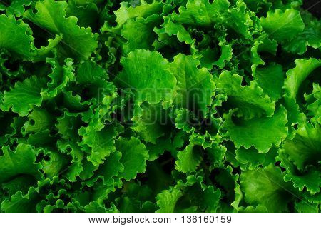 The Bed Of Lettuce Leaves Green Top View, A Beautiful Fresh Salad Leaves