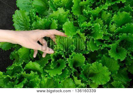 Gardening Topic: Human Hand Holding Green Lettuce Leaves