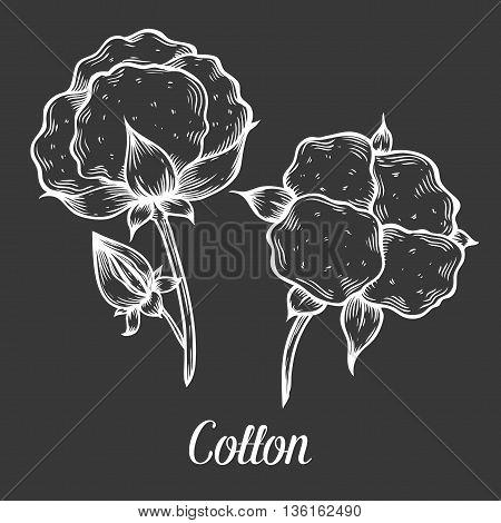 Cotton Plant, Bud, Leaf, Plant, Branch. Hand Drawn Engraved Vector Sketch Ink Illustration. Cotton I