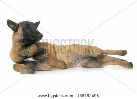 young belgian shepherd in front of white background