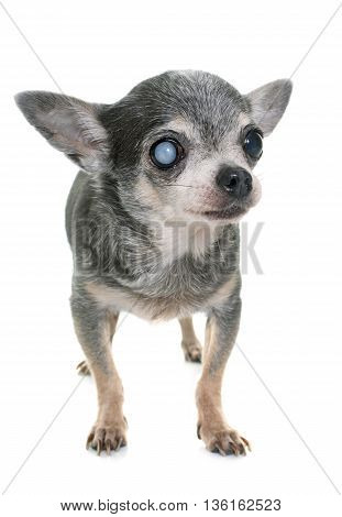 old chihuahua with cataract in front of white background