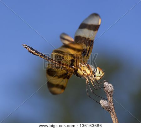 Bright orange dragonfly that is carrying eggs with the sky in the background