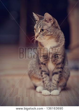 Gray striped cat with white paws and yellow eyes sits on a floor.
