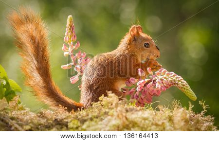 red squirrel standing between 2 lupine flowers with tail up and seed on head