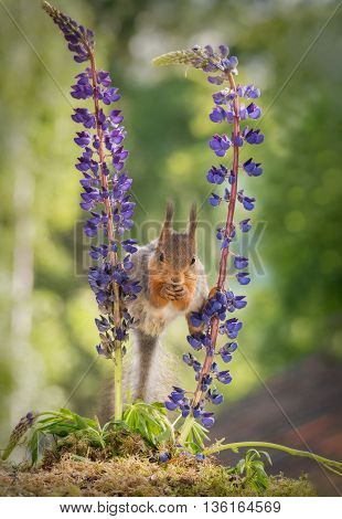 red squirrel standing between 2 purple lupine flowers with spread legs looking in the lens