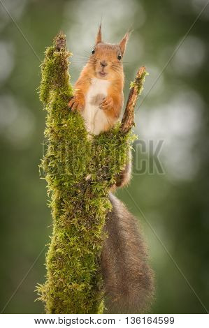 red squirrel in a tree trunk with moss looking in the lens with open mouth