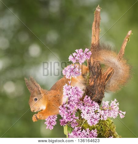 profile and close up of red squirrel hanging up side down with lila flowers