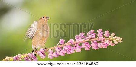 young bullfinch standing on branch of lupine flower with blurry wings