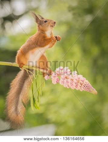red squirrel standing on lupine flowers with seed in mouth