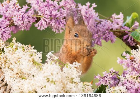young red squirrel stands between lila and white flowers looking in distance
