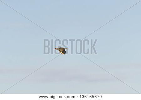 Side view Northern Flicker in flight wings low