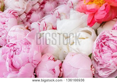 Closeup of pink peony flowers