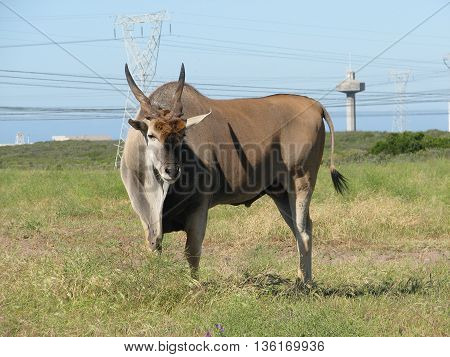 Eland Bull, Koeburg Nature Reserve, Cape Town South Africa 14