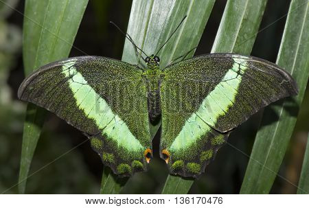 Emerald Swallowtail Butterfly on a plant, close up