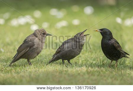 Starling, Sturnus Vulgaris, Babies Being Fed By An Adult