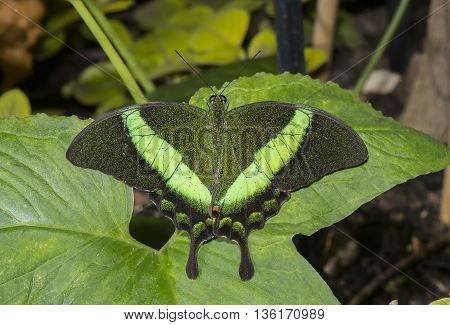 Emerald Swallowtail Butterfly on a leaf, close up