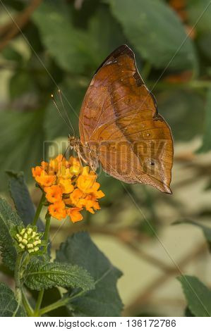 Autumn Leaf Butterfly on an orange flower