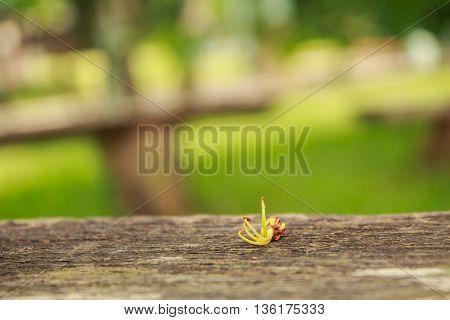Close up Tamarind flowers on wood in garden