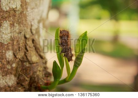 Black worms on leaves of Jackfruit in garden