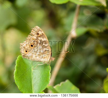 A butterfly feeding on lemon blossoms in garden