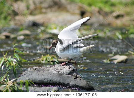 seagull standing on the stones in the river and opening its wings