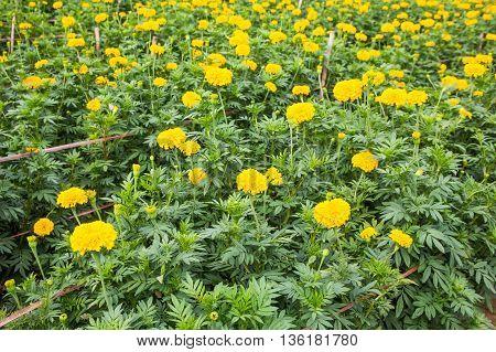 Marigolds flower. Yellow marigold flowers in the garden.
