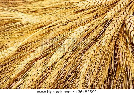 large amount of wheat ears close up