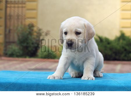 The Little Labrador Puppy Laying On A Blue Background