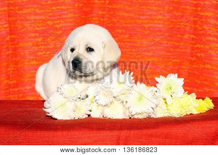 A Little Labrador Puppy On A Red Background With Flowers