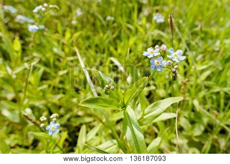 Myosotis Sylvatica In The Meadow