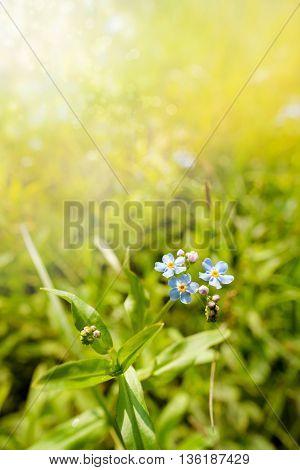 Blue Myosotis Sylvatica