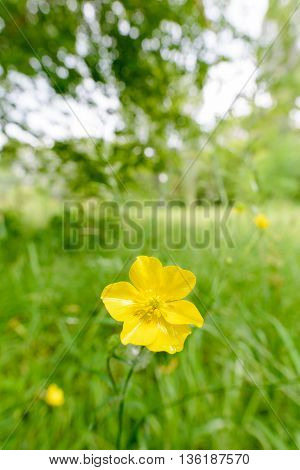 Yellow Ranunculus Repens