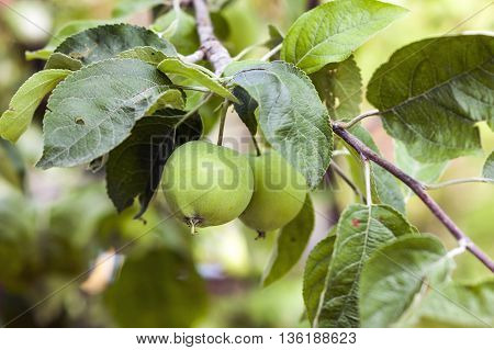 Two green apples growing on the tree
