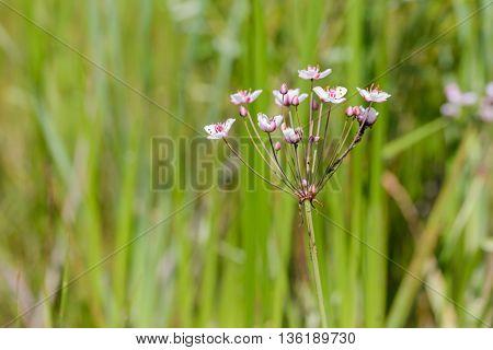 Butomus Umbellatus Flowers