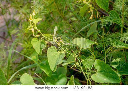 A Birthwort also called Aristolochia clematitis is growing in the sand under the warm summer sun