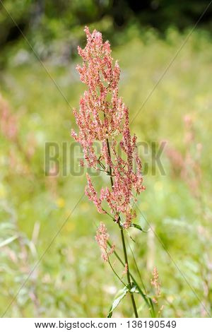Rumex Acetosella In The Meadow