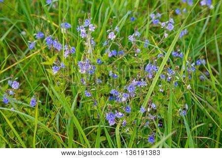 field forget-me-blue on the grass background me-nots
