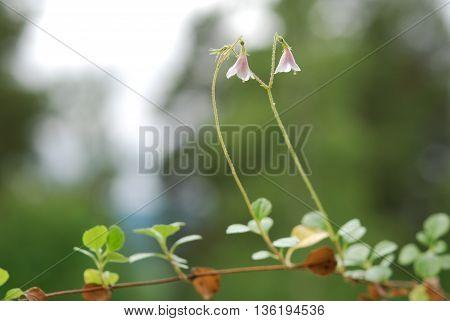 Pink Linnea twin flower in the forest