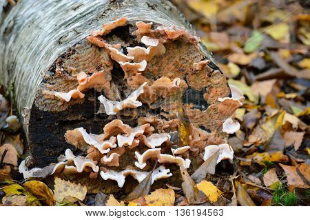 Close up nature detail of fungus growing on cut stump surrounded by leaves for ecology or nature concept