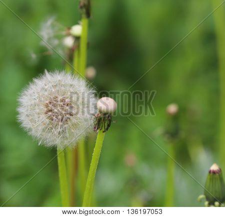 beautiful dandelion flower on green background